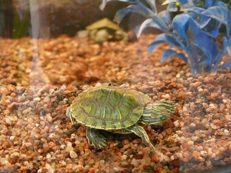 выбирайте купить черепаху в витебске магазинов